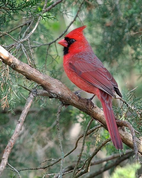 File:Cardinalis cardinalis -Columbus, Ohio, USA-male-8 (1).jpg