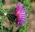 Carduus crispus (Welted thistle) - Flickr - S. Rae (1).jpg