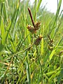 Carex extensa kz05.jpg