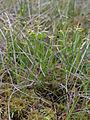 Carex pauciflora Oulu, Finland 18.06.2013.jpg