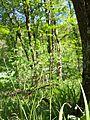 Carex pilosa sl11.jpg