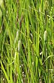 Carex utriculata lake-margin sedge close Heart Lake.jpg