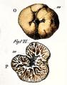 Carlo Vittadini - Tuber excavatum1.png