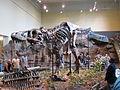 Carnegie Tyrannosaurus.jpg