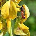 Carpenter Ant on Rattlebox (7646970132).jpg