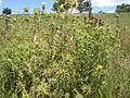 Carthamus lanatus plant2 (12082582255).jpg