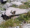 Cascade golden-mantled ground squirrel - Flickr - brewbooks.jpg