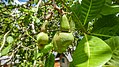 Cashew nuts growing on the cashew tree (32743105633).jpg