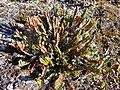 Cassiope tetragona - Svalbard Flora 2.jpg
