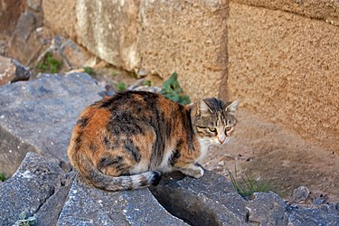 Cat closeup near stoa on acropolis of Lindos.jpg