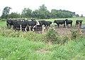 Cattle, near Harrowdown Hill - geograph.org.uk - 1439363.jpg