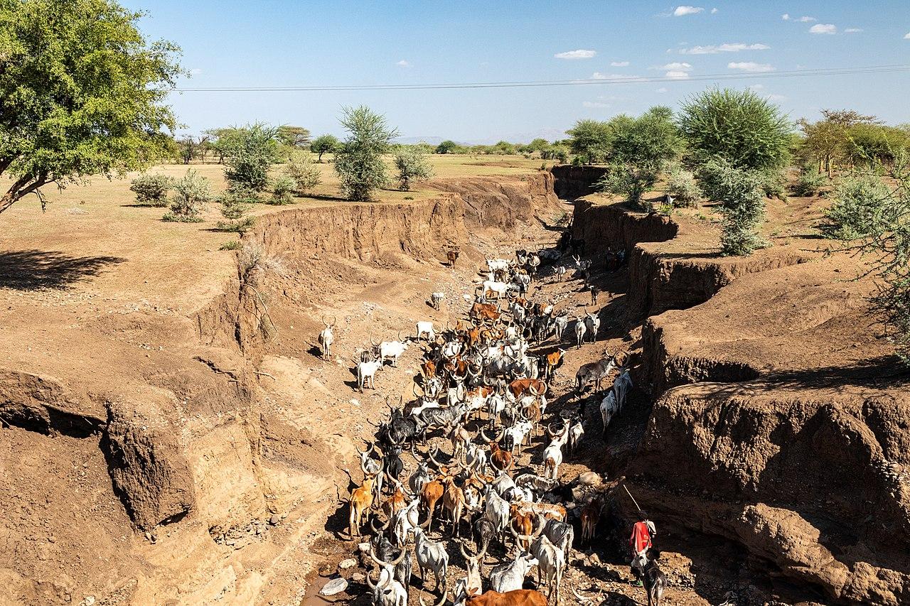 Cattle herd in riverbed Afar Ethiopia.jpg