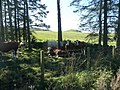 Cattle in the shade of the wood - geograph.org.uk - 1493729.jpg