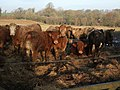 Cattle near Coombshead - geograph.org.uk - 638382.jpg