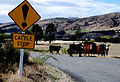 Cattle stop sign - New Zealand.jpg