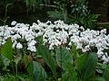 Cattleya cv (2944469194).jpg