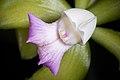 Cattleya tigrina fma. lilacina A.Rich., Portef. Hort. 2 166 (1848) (44487002261).jpg