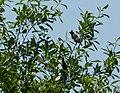 Cedar Waxwings Bombycilla cedorum (38057891166).jpg