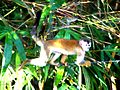 Central American Squirrel Monkey 2 Brightened.jpg