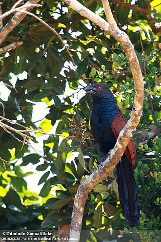 Wilpattu National Park - Image: Centropus sinensis Wilpattu National Park, Sri Lanka 8