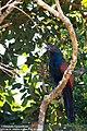 Centropus sinensis -Wilpattu National Park, Sri Lanka-8.jpg