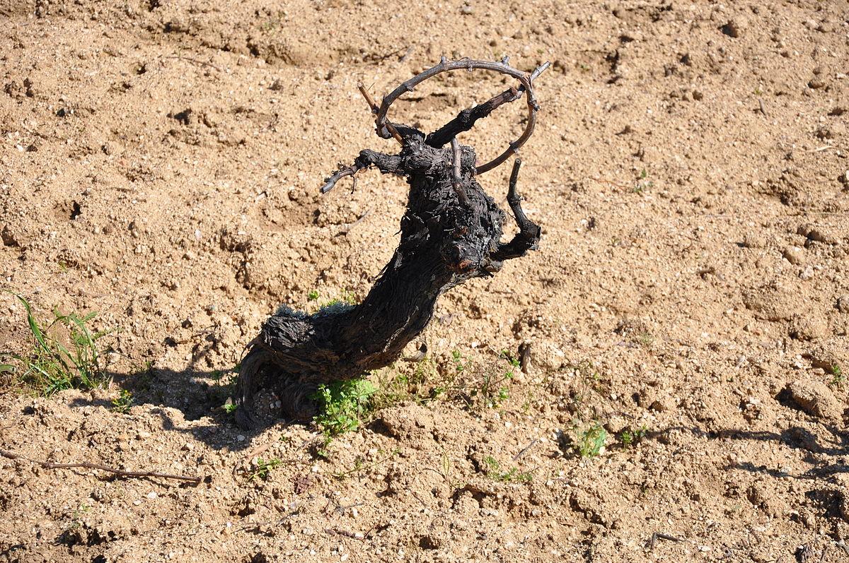 cepa viticultura wikipedia la enciclopedia libre