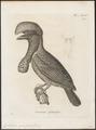 Cephalopterus ornatus - 1700-1880 - Print - Iconographia Zoologica - Special Collections University of Amsterdam - UBA01 IZ16600151.tif