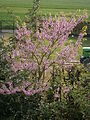 Cercis siliquastrum flowering RHu.JPG