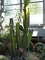 Cereus peruvianus1.jpg
