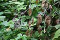 Cergowa flora 2015.08.23 p.jpg