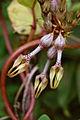 Ceropegia vincifolia - Ceropegia (5039453564).jpg