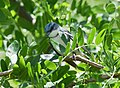 Cerulean Warbler (male) (34226093063).jpg
