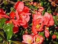 Chaenomeles japonica.jpg