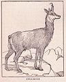 Chamois Page 544.jpg