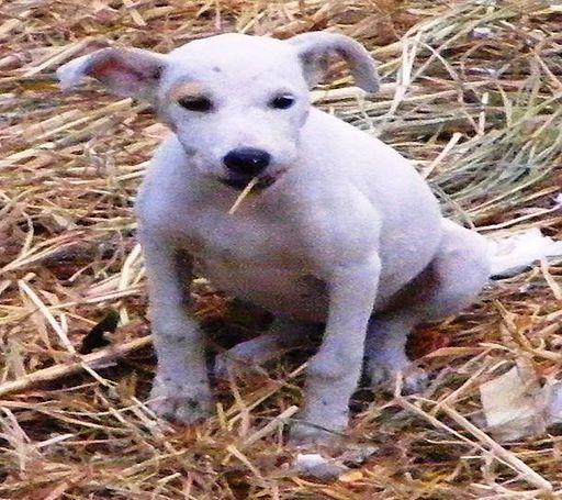 Chamuco Puppy