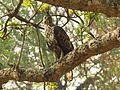 Changeable hawk-eagle IMG 3380.jpg