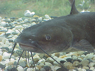 Catfish - The channel catfish has four pairs of barbels.
