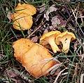 Chanterelle. Cantharellus cibarius - Flickr - gailhampshire.jpg