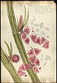 Chara vulgaris with three globules or male blossoms 1842 varley.jpg