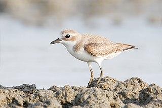 Lesser sand plover Species of bird