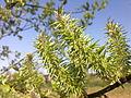 Chatons d'un arbre non-identifié à Grez-Doiceau 001.jpg