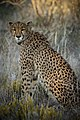 Cheetah, Namibia (18966021138).jpg