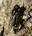 Cheilosia sp - Flickr - S. Rae.jpg