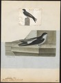 Chelidon urbica - 1700-1880 - Print - Iconographia Zoologica - Special Collections University of Amsterdam - UBA01 IZ16700195.tif