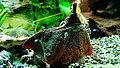 Chelus fimbriata - Matamata - Aqua Porte dorée 06.JPG