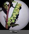 Chenopodium strictum sl19.jpg
