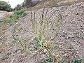 Chenopodium urbicum sl36.jpg