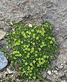 Cherleria sedoides RF.jpg