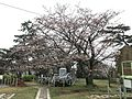 Cherry blossoms in front of Ube Coal Museum in Tokiwa Park.jpg