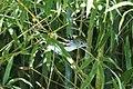Chestnut-sided Warbler (16375743310).jpg